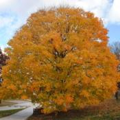 Location: Valley Forge Park near Norristown, PADate: 2014-11-07mature tree in fall color