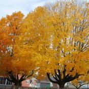 Location: Downingtown, PennsylvaniaDate: 2015-10-29two trees touching in yard