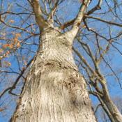 Location: Marsh Creek Lake Park in southeast PADate: 2018-01-18looking up a trunk