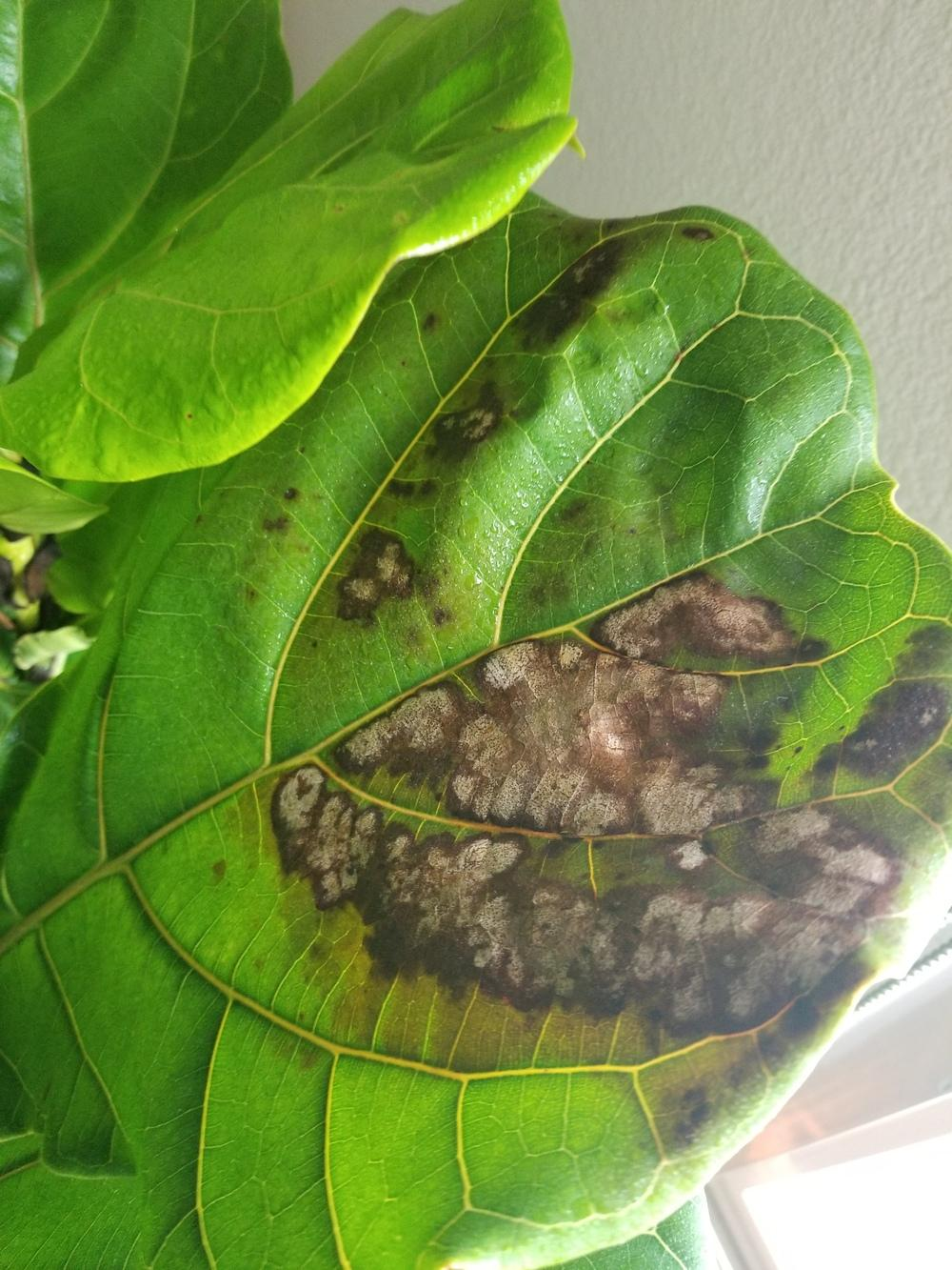 Houseplants Forum Fiddle Leaf Fig Strange Brown Spots Gardenorg