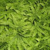 Photo of Northern Maidenhair Fern (Adiantum pedatum)
