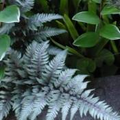 Photo of Japanese Painted Fern (Anisocampium niponicum 'Pewter Lace')