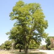 Photo of Black Locust (Robinia pseudoacacia)