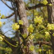 Photo of Sassafras (Sassafras albidum)