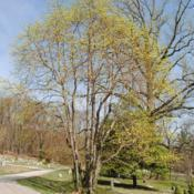 Location: Downingtown, PennsylvaniaDate: 2010-04-06tree in yellow bloom