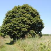 Location: Blinky Lee Land Preserve near Kimberton, PADate: 2015-08-15mature tree in summer
