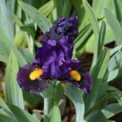 Photo of Miniature Dwarf Bearded Iris (Iris 'Kay')
