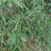 Location: Downingtown, PennsylvaniaDate: 2015-04-17Asian Hemlock Adelgid white dots on foliage
