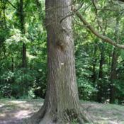 Location: Audubon estate near Norristown, PADate: 2016-06-30mature trunk