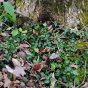 Location: French Creek State Park in southeast PennsylvaniaDate: 2016-04-27a small patch still with berries