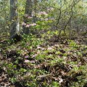 Location: near Downingtown, PennsylvaniaDate: 2010-04-24wild shrubs on hill in forest