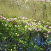 Location: near Downingtown, PennsylvaniaDate: 2010-04-24shrub in bloom above Brandywine Creek