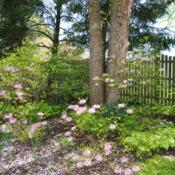 Location: West Chester, PennsylvaniaDate: 2010-04-24shrubs in pink bloom