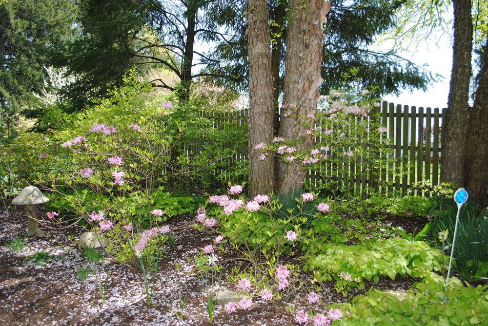 Photo of Pinxterbloom Azalea (Rhododendron periclymenoides) uploaded by ILPARW