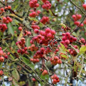 Cut-leaved Crabapple (Malus toringoides) in the Apples
