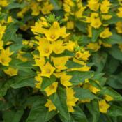 "Location: Clinton, Michigan 49236Date: 2015-06-11""Lysimachia punctata 'Alexander', 2015, variegated loosestrife, l"