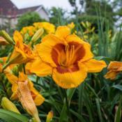 "Location: Clinton, Michigan 49236Date: 2017-07-12""Hemerocallis 'Fooled Me', 2017, [Daylily], hem-ur -oh-KAL-iss, 2"