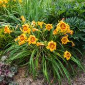 "Location: Clinton, Michigan 49236Date: 2017-07-15""Hemerocallis 'Fooled Me', 2017, [Daylily], hem-ur -oh-KAL-iss, 2"
