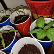 Location: Wilmington, Delaware USADate: 2018-01-27Datura White Dwarf seedlings at various stages of growth