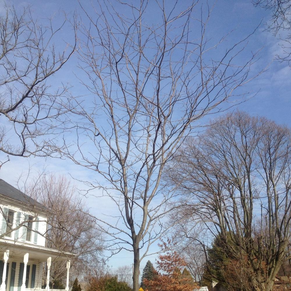 Photo of Thornless Honeylocust (Gleditsia triacanthos 'Shademaster') uploaded by csandt