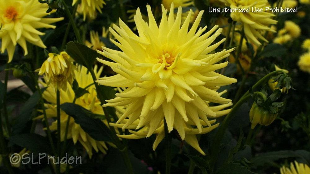 Photo of Dahlia 'Bloomquist Elizabeth' uploaded by DaylilySLP