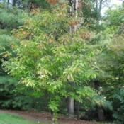Location: Jenkins Arboretum in Berwyn, PennsylvaniaDate: 2014-09-29tree with touch of fall color