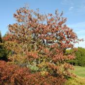 Location: Tyler Arboretum in southeast PA near MediaDate: 2010-10-28tree mostly of fall color