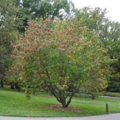 Location: Longwood Gardens in southeast PennsylvaniaDate: 2014-10-03full-grown tree with touch of fall color