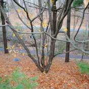Location: Jenkins Arboretum in Berwyn, PennsylvaniaDate: 2015-12-13trunk and branches in winter