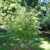 Location: West Chester, PennsylvaniaDate: 2011-08-23young tree in summer