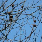 Location: West Chester, PennsylvaniaDate: 2007-12-18brown capsules in winter