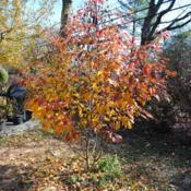 Location: West Chester, PennsylvaniaDate: 2011-11-18young tree in fall color in part shade
