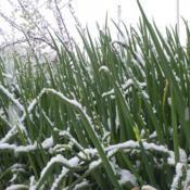 Location: Garfield, WADate: 2007-01-07Egyptian Walking Onion plants in the snow. A very cold