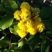 Location: Garfield, WADate: 2008-05-16Tall Oregon Grape - beautiful yellow flowers!