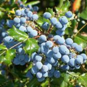 Location: Garfield, WADate: 2008-08-10Tall Oregon Grape - beautiful blue berries!