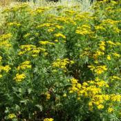 Location: Garfield, WADate: 2007-01-01Tansy can be invasive.