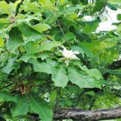 Location: West Chester, PennsylvaniaDate: 2012-06-04foliage and white flower