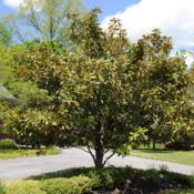 Location: West Chester, PennsylvaniaDate: 2011-05-11mature tree