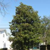 Location: Rehoboth Beach, DelawareDate: 2007-03-01mature tree in yard