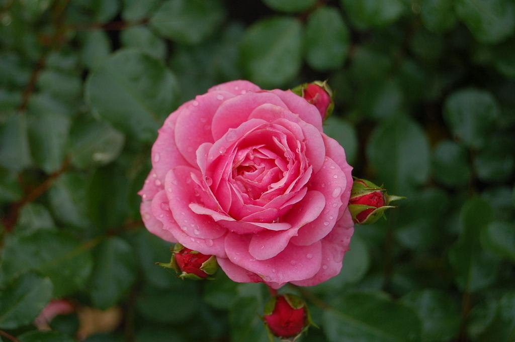 Photo of Rose (Rosa 'Royal Bonica') uploaded by robertduval14