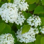 Location: Nora's Garden - Castlegar, B.C.Date: 2013-07-22Luxuriously large, white blossoms.