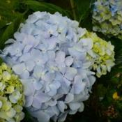 Location: Kula Botanical Garden, Maui Date: 2015-05-17 - The light blue Hydrangea blossom in the center, was