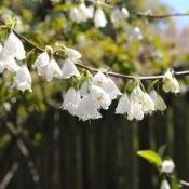 Location: West Chester, PennsylvaniaDate: 2010-04-19white flowers close-up