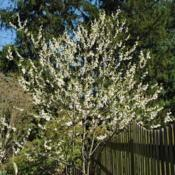 Location: West Chester, PennsylvaniaDate: 2010-04-19young tree in white bloom