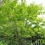 Location: West Chester, PennsylvaniaDate: 2011-06-20maturing tree planted in yard