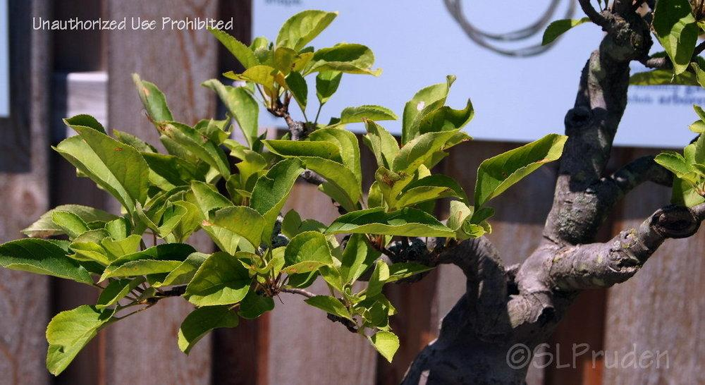 Photo of Apple (Malus pumila) uploaded by DaylilySLP