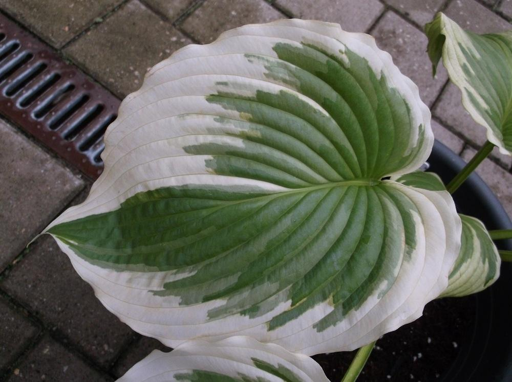 Photo Of The Leaves Of Hosta Bridal Falls Posted By Karinblackcat