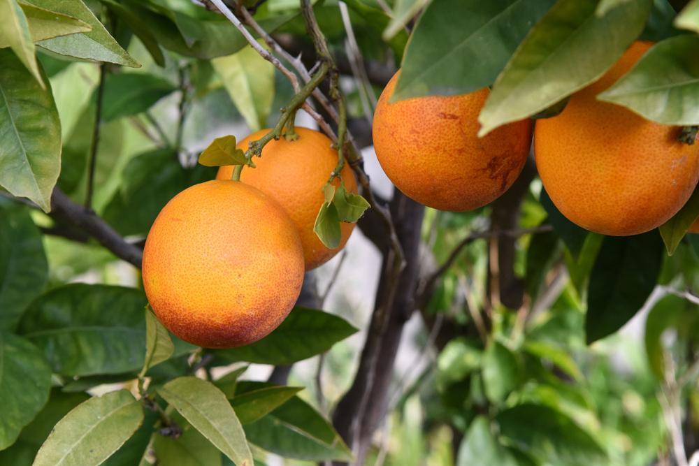 Photo of Blood Orange (Citrus x aurantium 'Tarocco') uploaded by cliftoncat