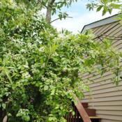 Location: Downingtown, PennsylvaniaDate: 2016-08-05vine on Sweetbay Magnolia at deck