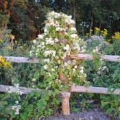 Location: Neenah, Wisconsin (Wild Ones Headquarters)Date: mid-August 2012vine in bloom on fence